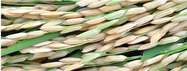slider-rijst